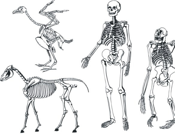Bones skeleton Free CDR Vectors Art